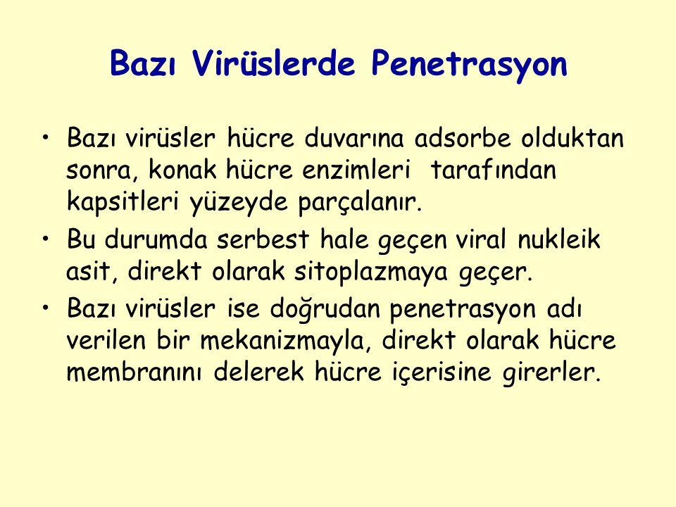 Bazı Virüslerde Penetrasyon Bazı virüsler hücre duvarına adsorbe olduktan sonra, konak hücre enzimleri tarafından kapsitleri yüzeyde parçalanır.