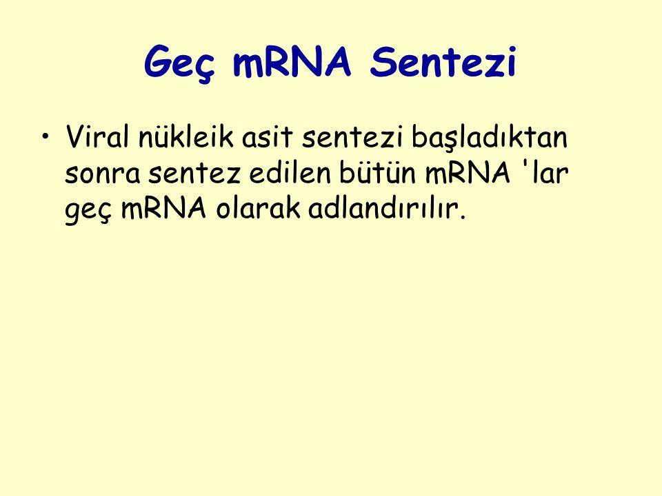 Geç mRNA Sentezi Viral nükleik asit sentezi başladıktan sonra sentez edilen bütün mRNA lar geç mRNA olarak adlandırılır.