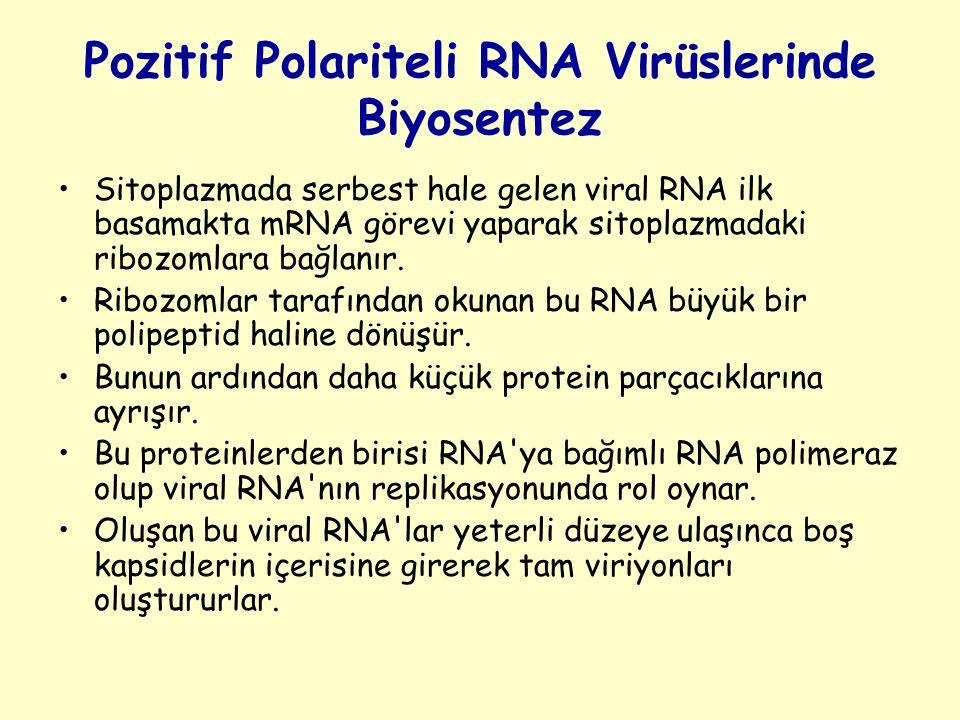 Pozitif Polariteli RNA Virüslerinde Biyosentez Sitoplazmada serbest hale gelen viral RNA ilk basamakta mRNA görevi yaparak sitoplazmadaki ribozomlara bağlanır.
