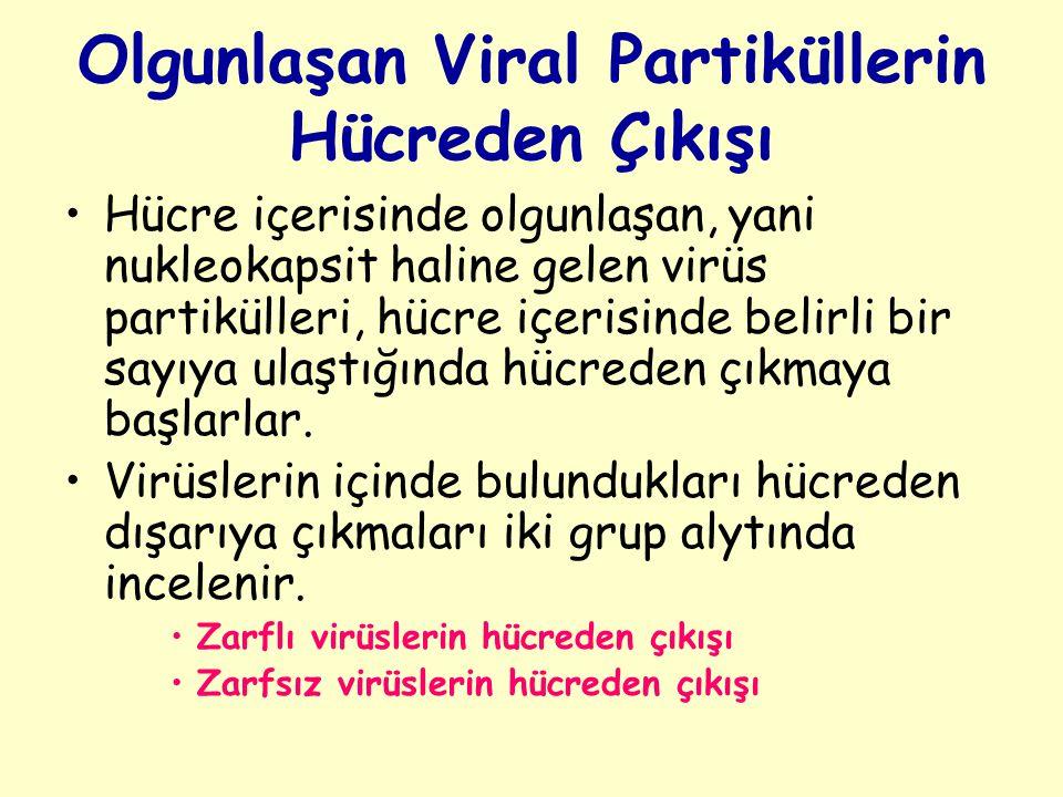 Olgunlaşan Viral Partiküllerin Hücreden Çıkışı Hücre içerisinde olgunlaşan, yani nukleokapsit haline gelen virüs partikülleri, hücre içerisinde belirli bir sayıya ulaştığında hücreden çıkmaya başlarlar.
