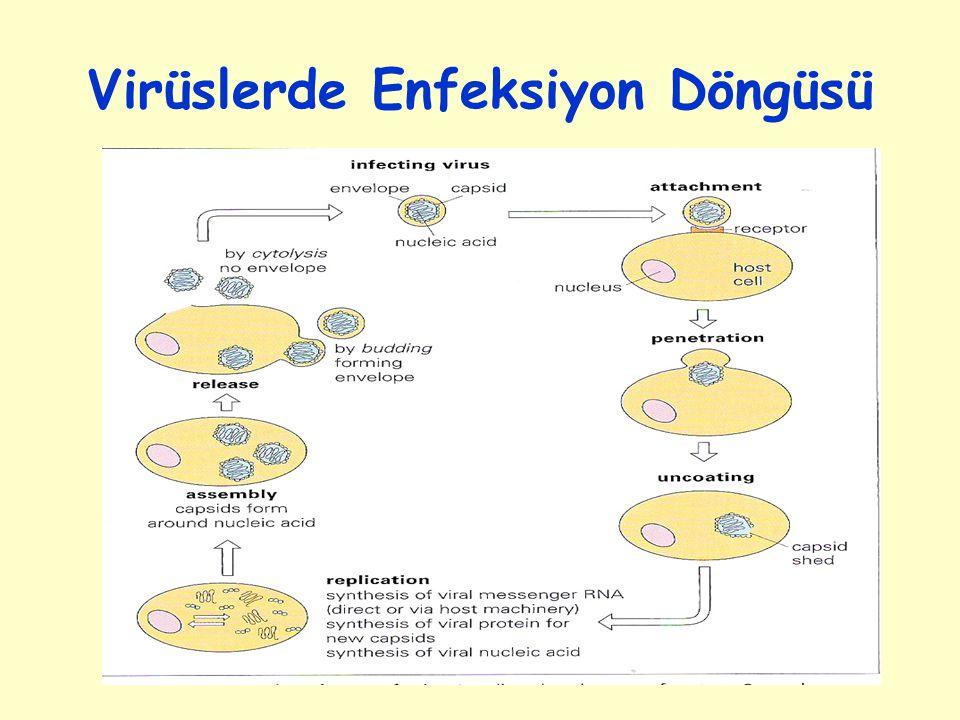 Virüslerde Enfeksiyon Döngüsü