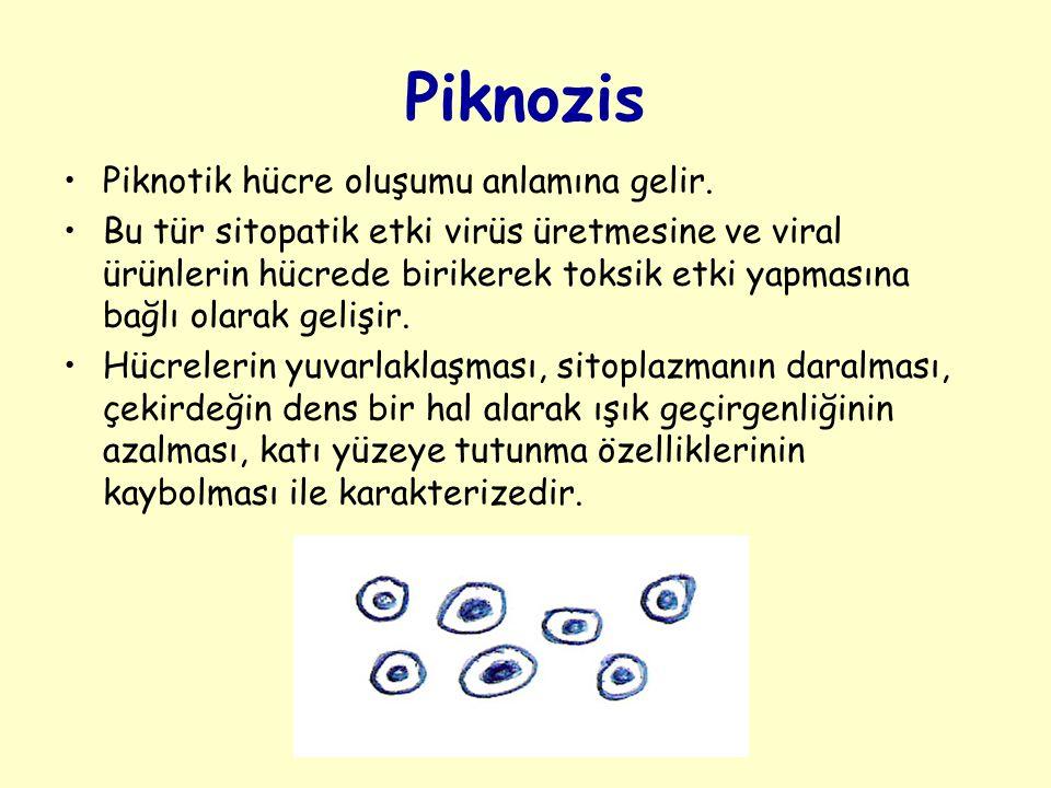 Piknozis Piknotik hücre oluşumu anlamına gelir.