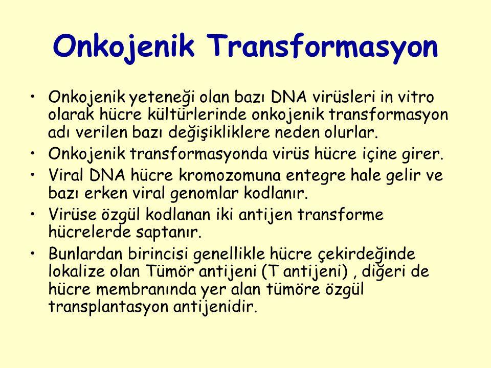 Onkojenik Transformasyon Onkojenik yeteneği olan bazı DNA virüsleri in vitro olarak hücre kültürlerinde onkojenik transformasyon adı verilen bazı değişikliklere neden olurlar.