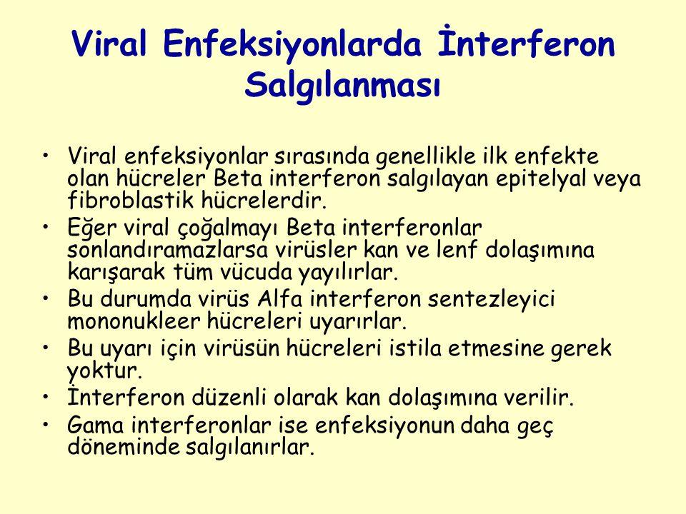 Viral Enfeksiyonlarda İnterferon Salgılanması Viral enfeksiyonlar sırasında genellikle ilk enfekte olan hücreler Beta interferon salgılayan epitelyal veya fibroblastik hücrelerdir.