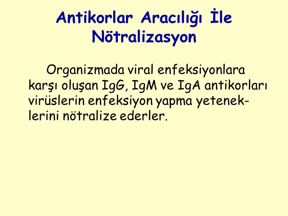 Antikorlar Aracılığı İle Nötralizasyon Organizmada viral enfeksiyonlara karşı oluşan IgG, IgM ve IgA antikorları virüslerin enfeksiyon yapma yetenek- lerini nötralize ederler.