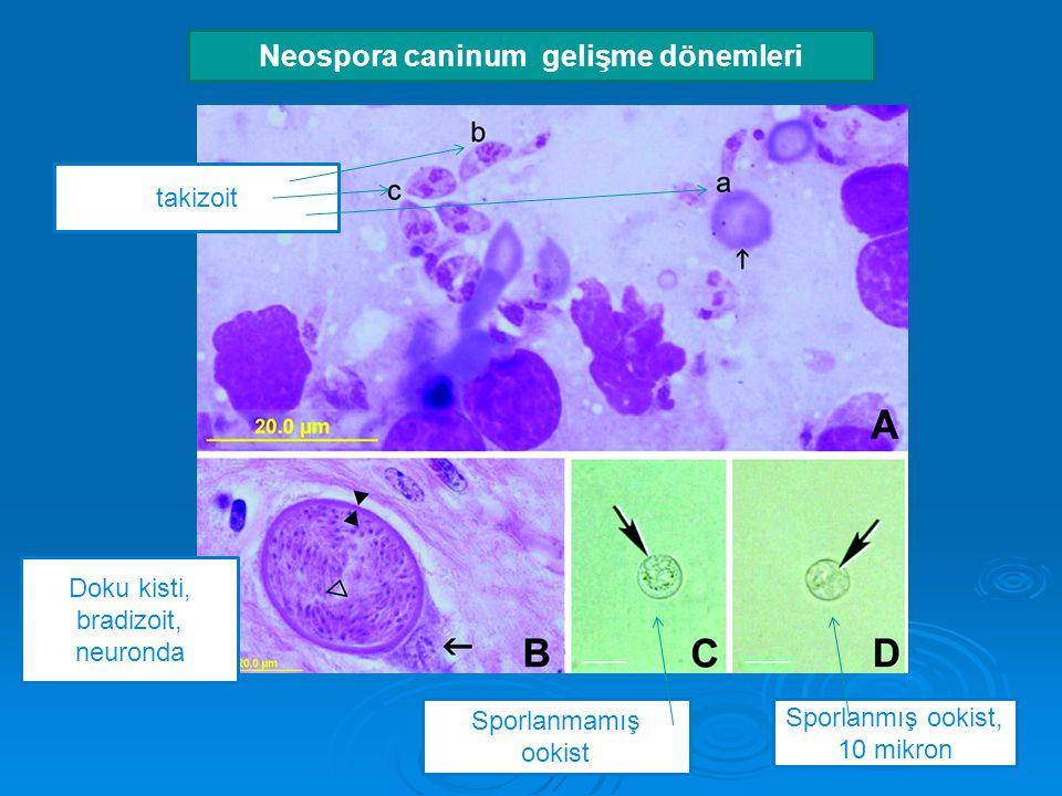 Neospora caninum gelişme dönemleri takizoit Doku kisti, bradizoit, neuronda Sporlanmamış ookist Sporlanmış ookist, 10 mikron