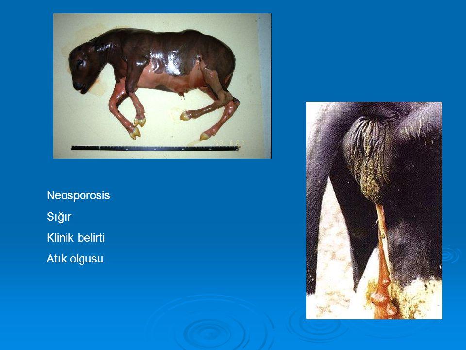 Neosporosis Sığır Klinik belirti Atık olgusu