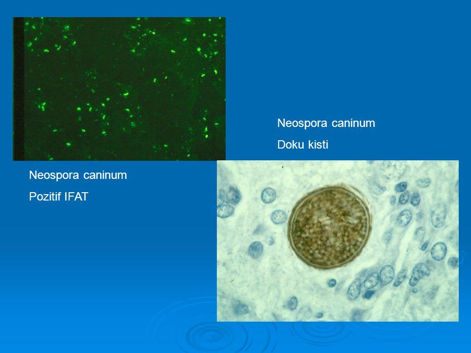 Neospora caninum Pozitif IFAT Neospora caninum Doku kisti