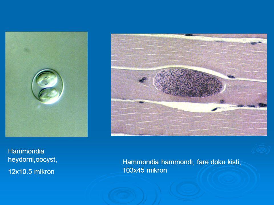 Hammondia heydorni,oocyst, 12x10.5 mikron Hammondia hammondi, fare doku kisti, 103x45 mikron