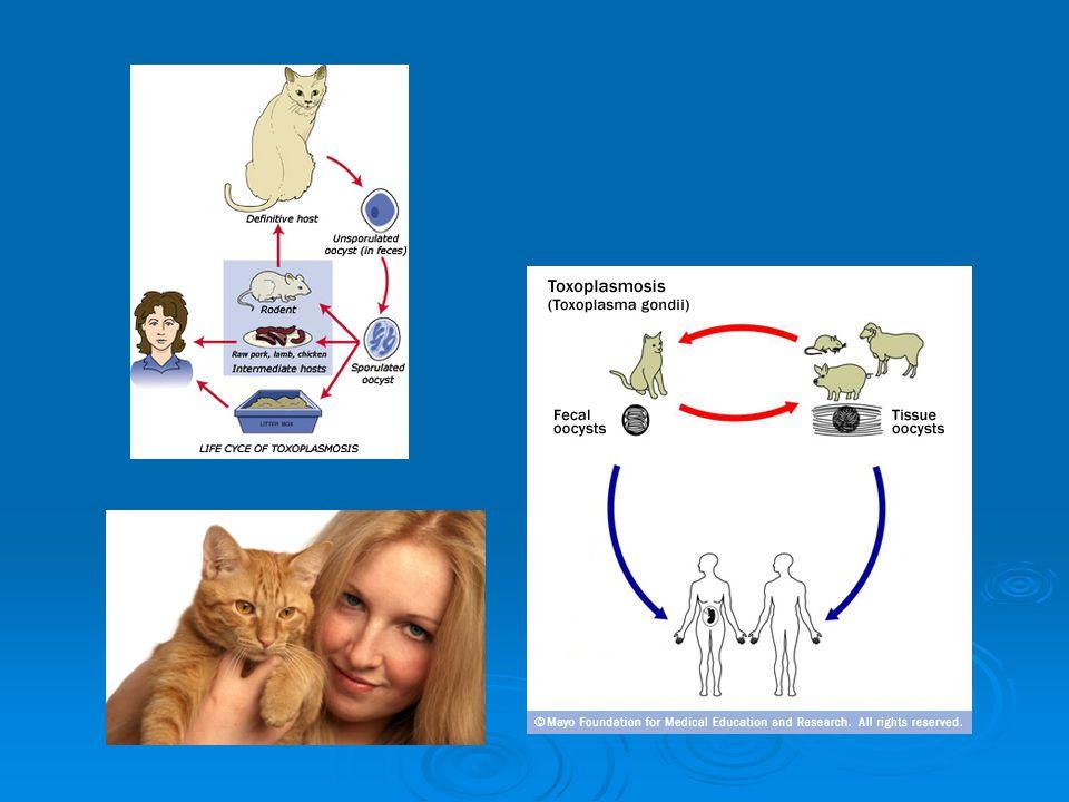 Ancak kronik devrede bağışıklık sistemi baskılanırsa veya çökerse o zaman doku kistleri açılır.