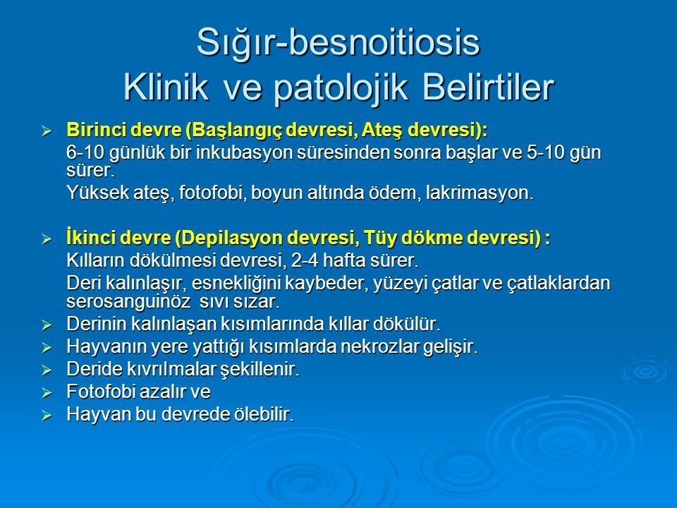 Sığır-besnoitiosis Klinik ve patolojik Belirtiler  Birinci devre (Başlangıç devresi, Ateş devresi): 6-10 günlük bir inkubasyon süresinden sonra başla