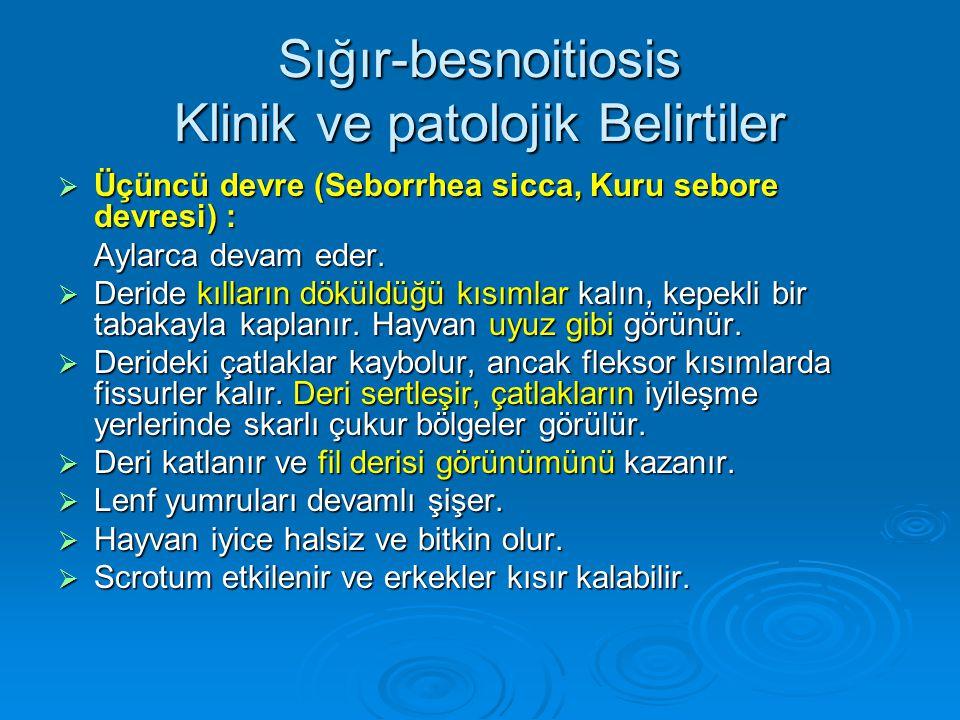 Sığır-besnoitiosis Klinik ve patolojik Belirtiler  Üçüncü devre (Seborrhea sicca, Kuru sebore devresi) : Aylarca devam eder.  Deride kılların döküld