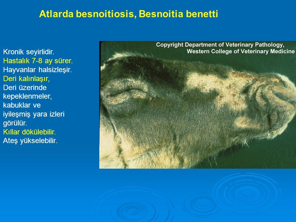 Atlarda besnoitiosis, Besnoitia benetti Kronik seyirlidir. Hastalık 7-8 ay sürer. Hayvanlar halsizleşir. Deri kalınlaşır, Deri üzerinde kepeklenmeler,