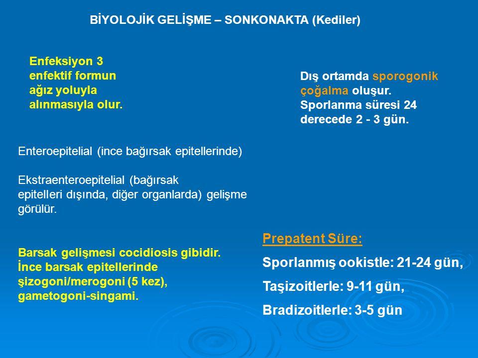 BİYOLOJİK GELİŞME – SONKONAKTA (Kediler) Enfeksiyon 3 enfektif formun ağız yoluyla alınmasıyla olur. Enteroepitelial (ince bağırsak epitellerinde) Eks