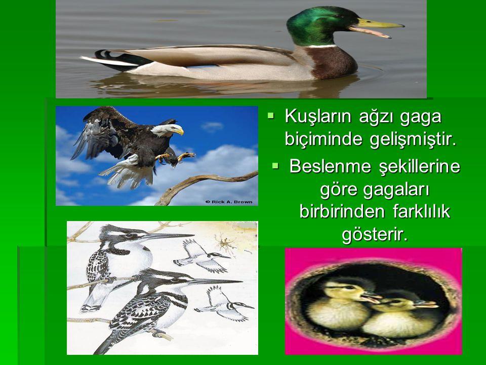 Kuşların ağzı gaga biçiminde gelişmiştir.  Beslenme şekillerine göre gagaları birbirinden farklılık gösterir.