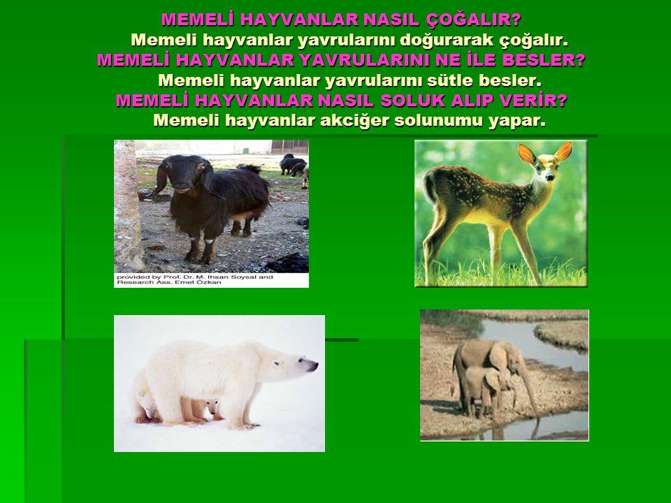 MEMELİ HAYVANLAR NASIL ÇOĞALIR? Memeli hayvanlar yavrularını doğurarak çoğalır. MEMELİ HAYVANLAR YAVRULARINI NE İLE BESLER? Memeli hayvanlar yavruları