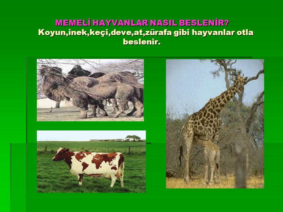 MEMELİ HAYVANLAR NASIL BESLENİR? Koyun,inek,keçi,deve,at,zürafa gibi hayvanlar otla beslenir.