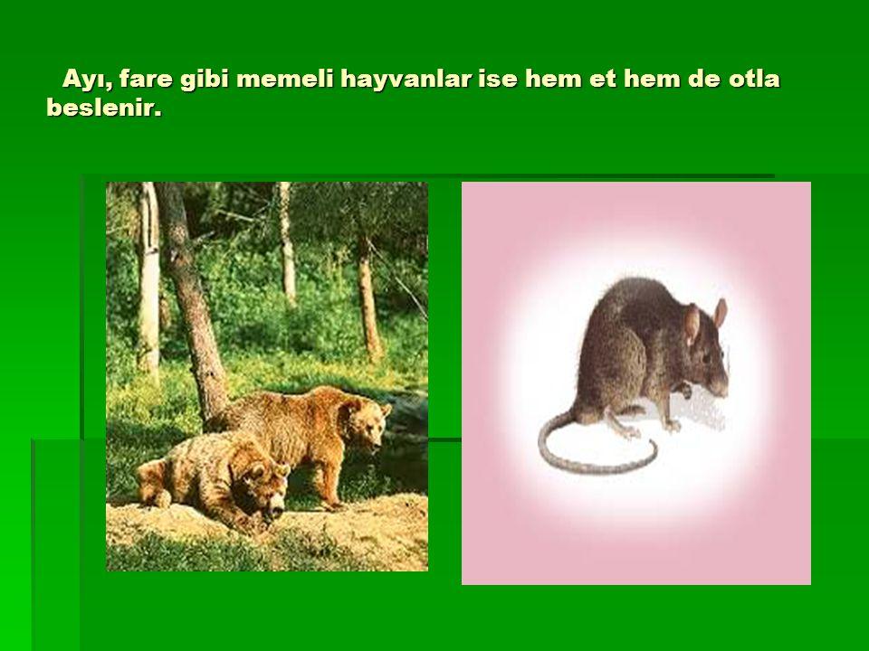 Ayı, fare gibi memeli hayvanlar ise hem et hem de otla beslenir. Ayı, fare gibi memeli hayvanlar ise hem et hem de otla beslenir.