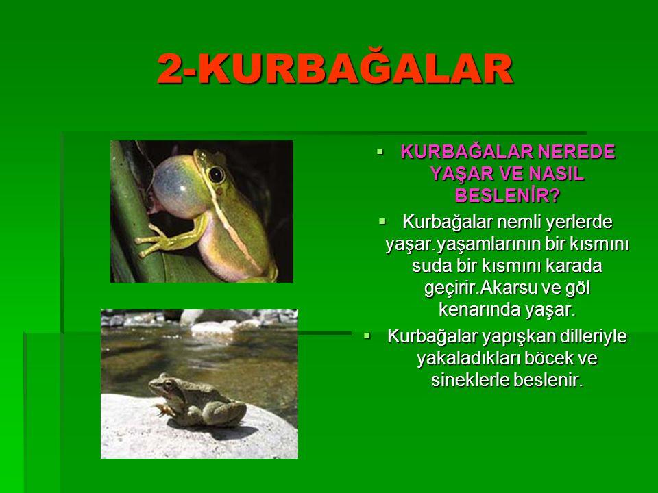 2-KURBAĞALAR  KURBAĞALAR NEREDE YAŞAR VE NASIL BESLENİR?  Kurbağalar nemli yerlerde yaşar.yaşamlarının bir kısmını suda bir kısmını karada geçirir.A