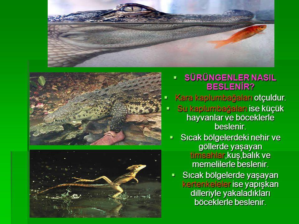  SÜRÜNGENLER NASIL BESLENİR?  Kara kaplumbağaları otçuldur.  Su kaplumbağaları ise küçük hayvanlar ve böceklerle beslenir.  Sıcak bölgelerdeki neh
