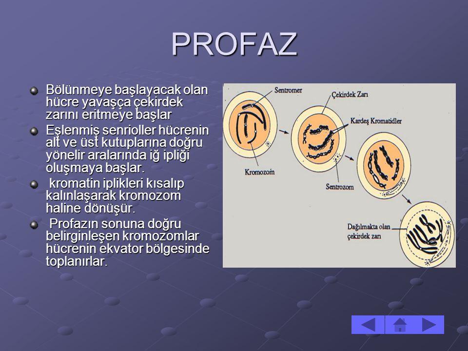 PROFAZ Bölünmeye başlayacak olan hücre yavaşça çekirdek zarını eritmeye başlar Eşlenmiş senrioller hücrenin alt ve üst kutuplarına doğru yönelir arala