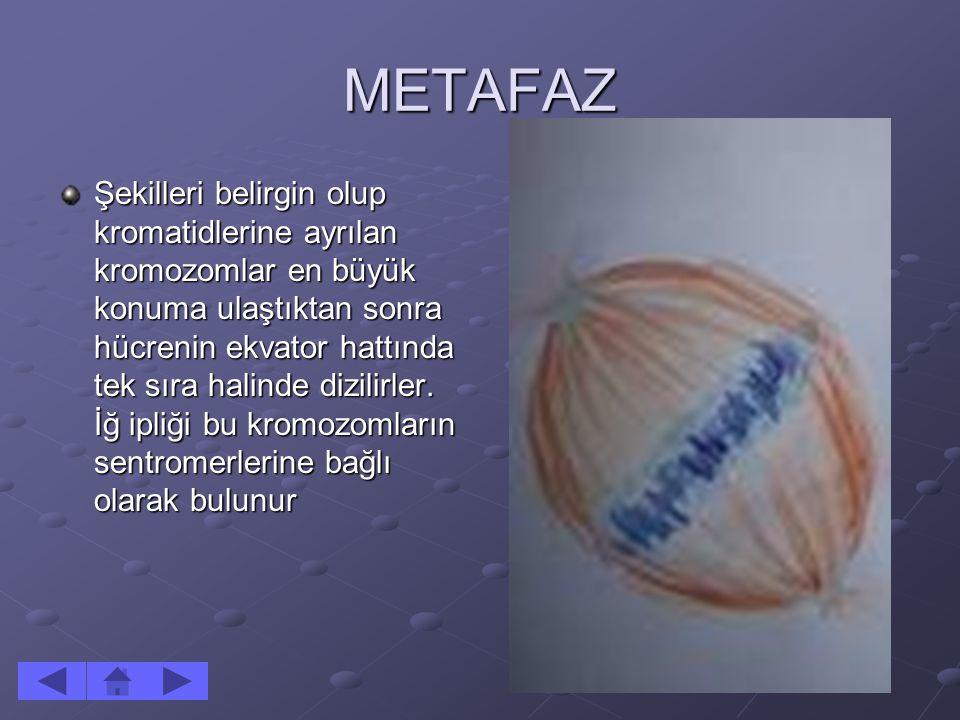 METAFAZ Şekilleri belirgin olup kromatidlerine ayrılan kromozomlar en büyük konuma ulaştıktan sonra hücrenin ekvator hattında tek sıra halinde dizilir