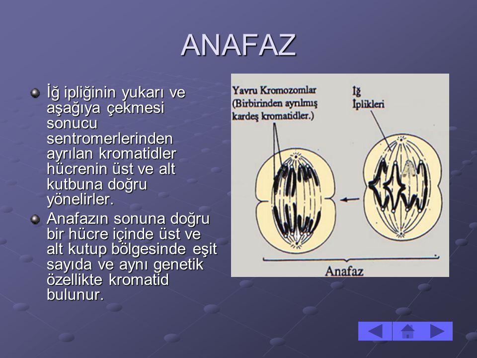 ANAFAZ İğ ipliğinin yukarı ve aşağıya çekmesi sonucu sentromerlerinden ayrılan kromatidler hücrenin üst ve alt kutbuna doğru yönelirler. Anafazın sonu