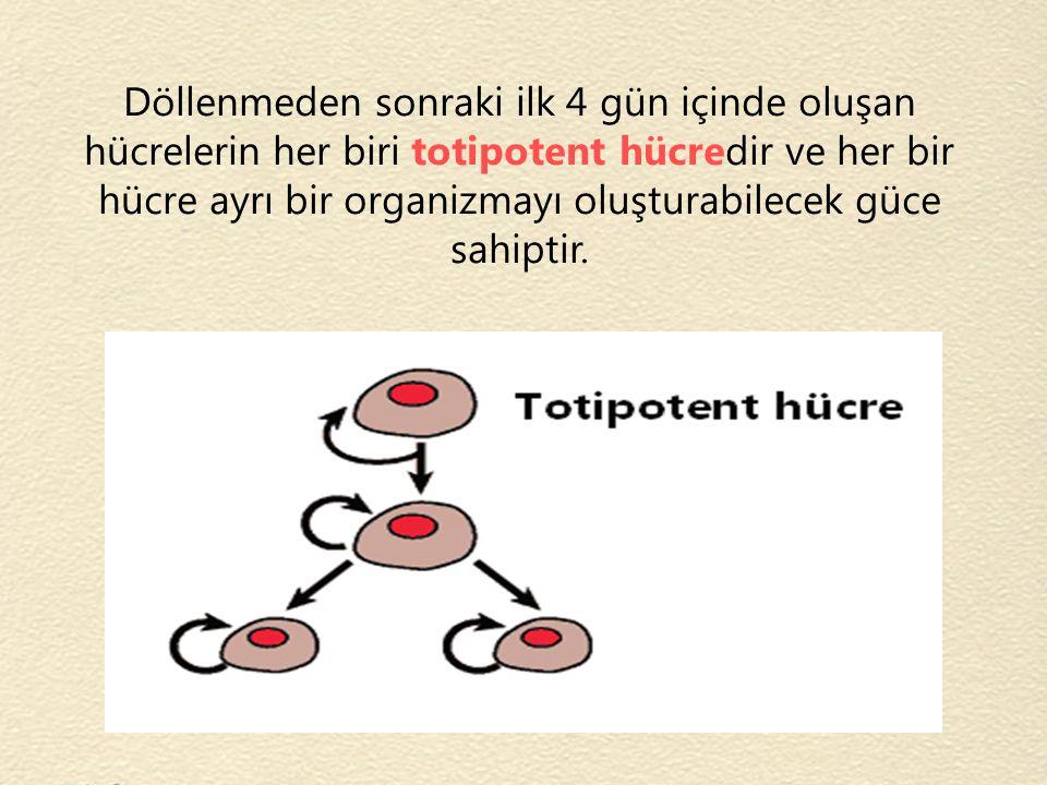 Döllenmeden sonraki ilk 4 gün içinde oluşan hücrelerin her biri totipotent hücredir ve her bir hücre ayrı bir organizmayı oluşturabilecek güce sahipti
