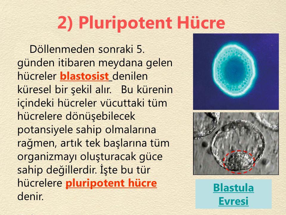2) Pluripotent Hücre Döllenmeden sonraki 5. günden itibaren meydana gelen hücreler blastosist denilen küresel bir şekil alır. Bu kürenin içindeki hücr