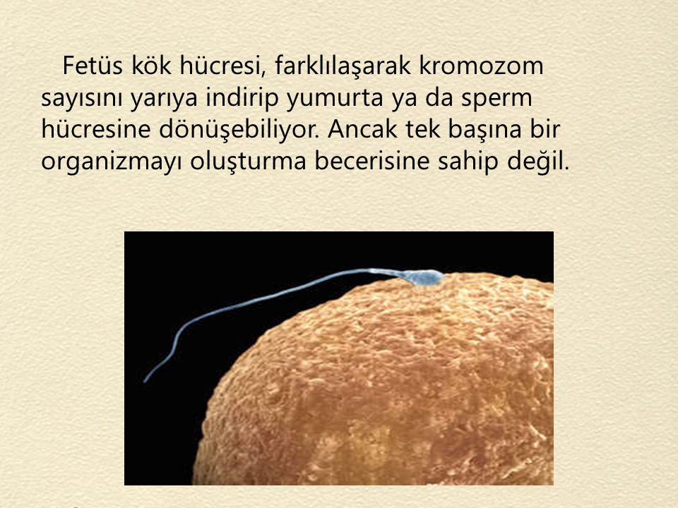 Fetüs kök hücresi, farklılaşarak kromozom sayısını yarıya indirip yumurta ya da sperm hücresine dönüşebiliyor. Ancak tek başına bir organizmayı oluştu