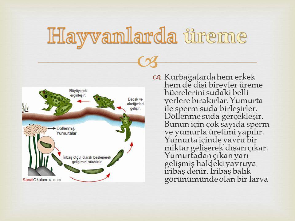   Kurbağalarda hem erkek hem de dişi bireyler üreme hücrelerini sudaki belli yerlere bırakırlar. Yumurta ile sperm suda birleşirler. Döllenme suda g