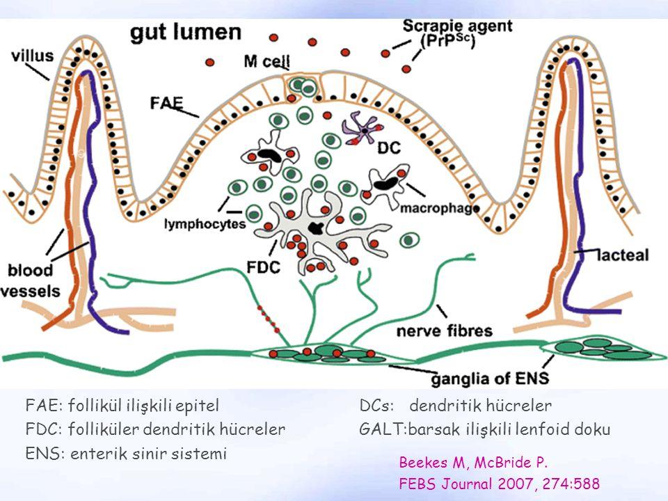 FAE: follikül ilişkili epitelDCs: dendritik hücreler FDC: folliküler dendritik hücrelerGALT:barsak ilişkili lenfoid doku ENS: enterik sinir sistemi Be