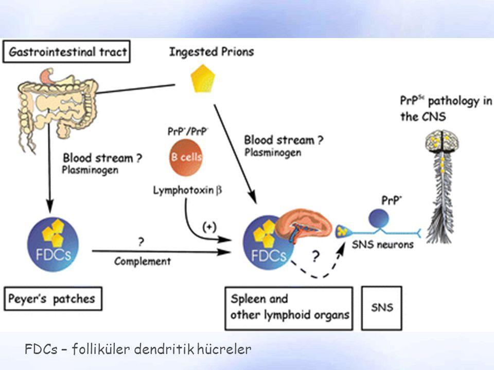 FDCs – folliküler dendritik hücreler