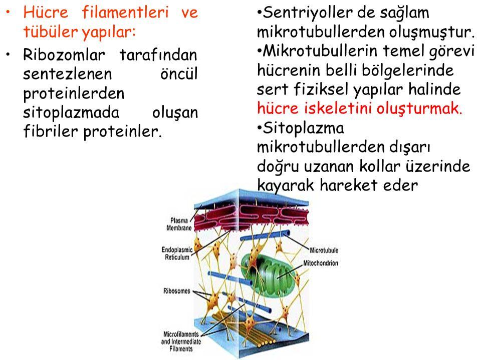 Hücre İskeleti Protein filamentlerinin ilişkisi ile oluşur Hücreyi destekler ve hücre hareketini sağlar Hücre organellerinin hareketini sağlarlar 1.Mi