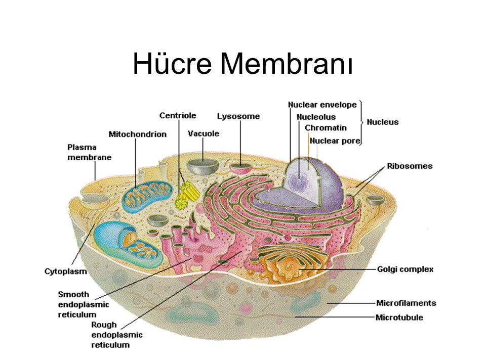 Hücre Membranı %55 protein, %25 fosfolipid, %13 kolesterol, %4 diğer lipidler, %3 CHO 1.İntegral proteinler lipid tabaka içinde 2.Periferik proteinler