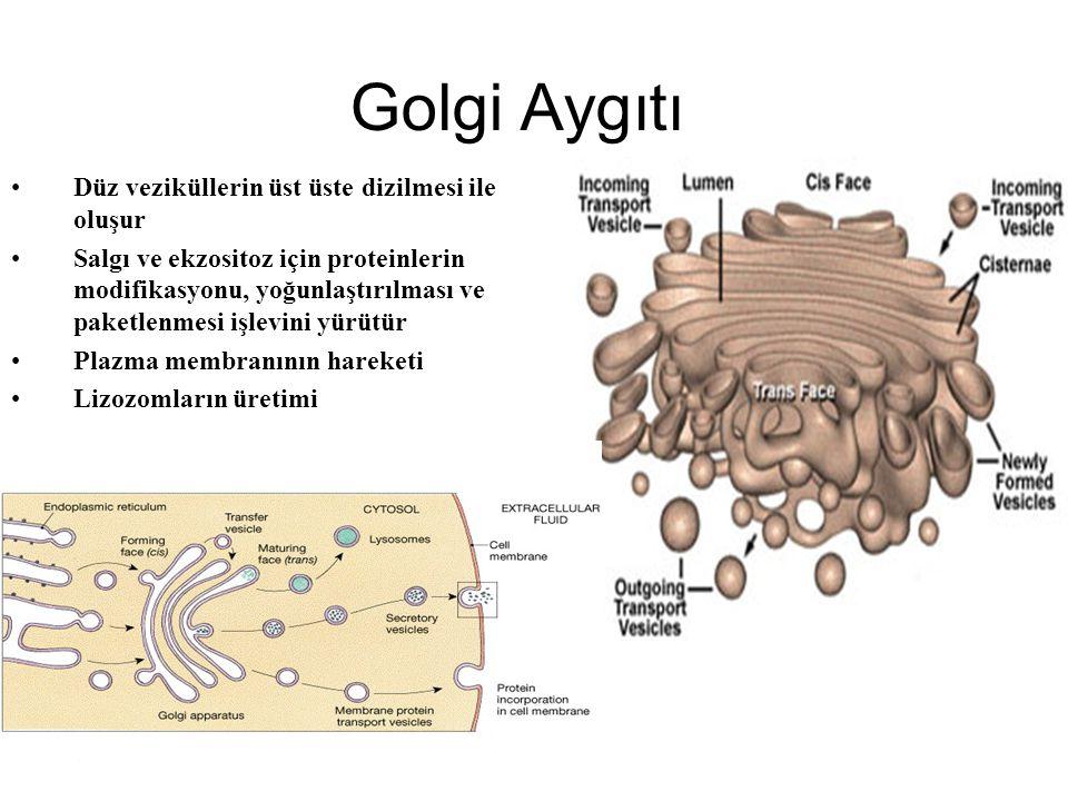 Endoplazmik Retikulum Kapalı membran ağı ile oluşan sisternalarla sitoplazmadan ayrılır. Tek katlı zarı vardır Hücreyi kompartmanlara böler Nükleus za
