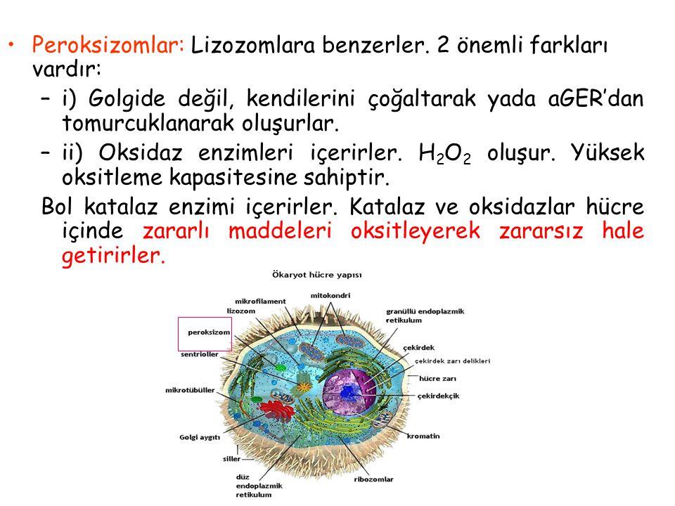 Lizozom Lizozomlar: Golgi tarafından oluşturulan veziküler organeller Hücrenin haraplanmış yapılarının, hücreye alınan besin partiküllerinin ve bakter
