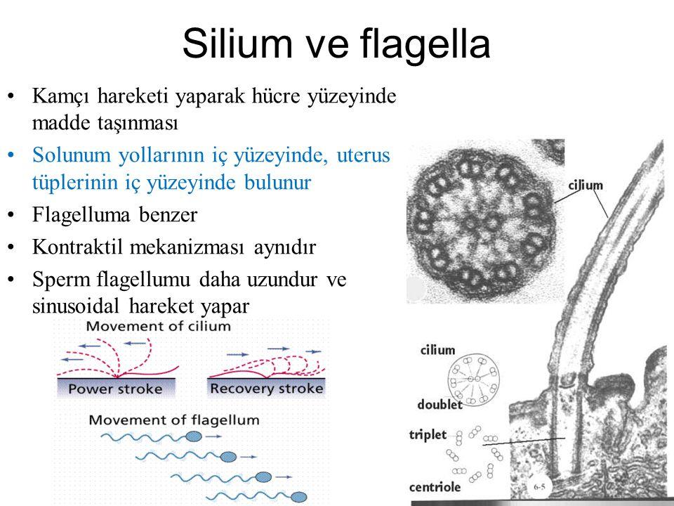 Sentriol Mikrotübüllerin bir araya gelmesi ile oluşurlar Zar yapısına sahip olmayan bir organeldir Genellikle nukleusun kenarında çift halde bulunurla
