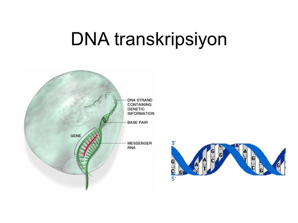 DNA' nın Özellikleri 1. Çift iplikten oluşmuştur 2. Nüklotid zincirleri birbirlerine zayıf Hidrojen bağları ile bağlanmıştır 3. Merkezdeki bazlardan d