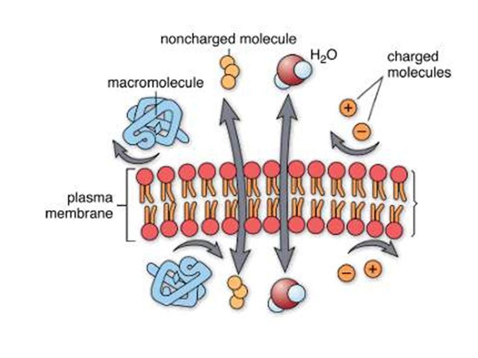 Hücre Membranından Difüzyon Basit difüzyon Kolaylaştırılmış difüzyon Basit Difüzyon: 1. Çift katlı lipid tabakanın aralıklarından Maddenin lipiddeki e