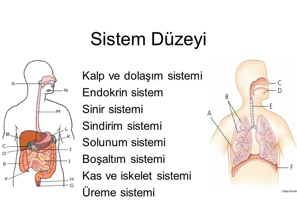 Sistem Düzeyi Kalp ve dolaşım sistemi Endokrin sistem Sinir sistemi Sindirim sistemi Solunum sistemi Boşaltım sistemi Kas ve iskelet sistemi Üreme sistemi