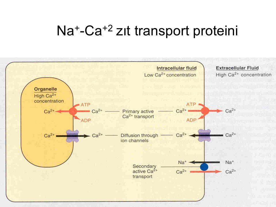 simport - antiport taşınım sekonder aktif transport ile taşınan madde sodyum iyonları ile aynı yönde taşınıyorsa simport (sodyum co- transportu), ters