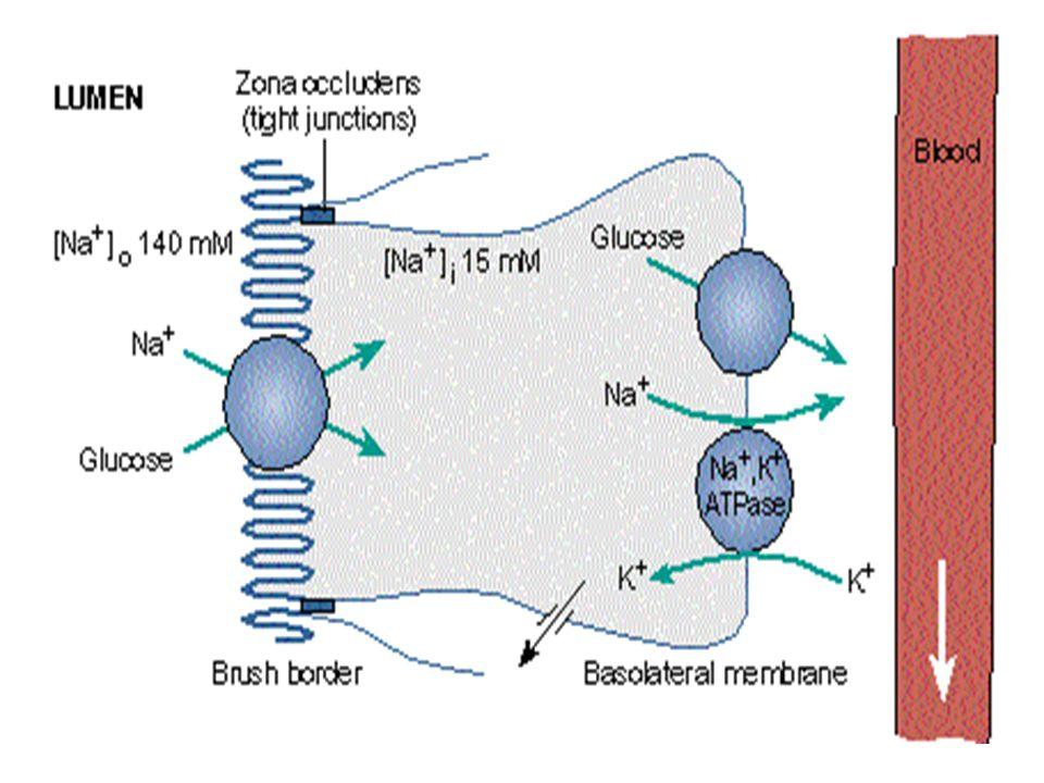 Na + -Ca +2 zıt transport proteini