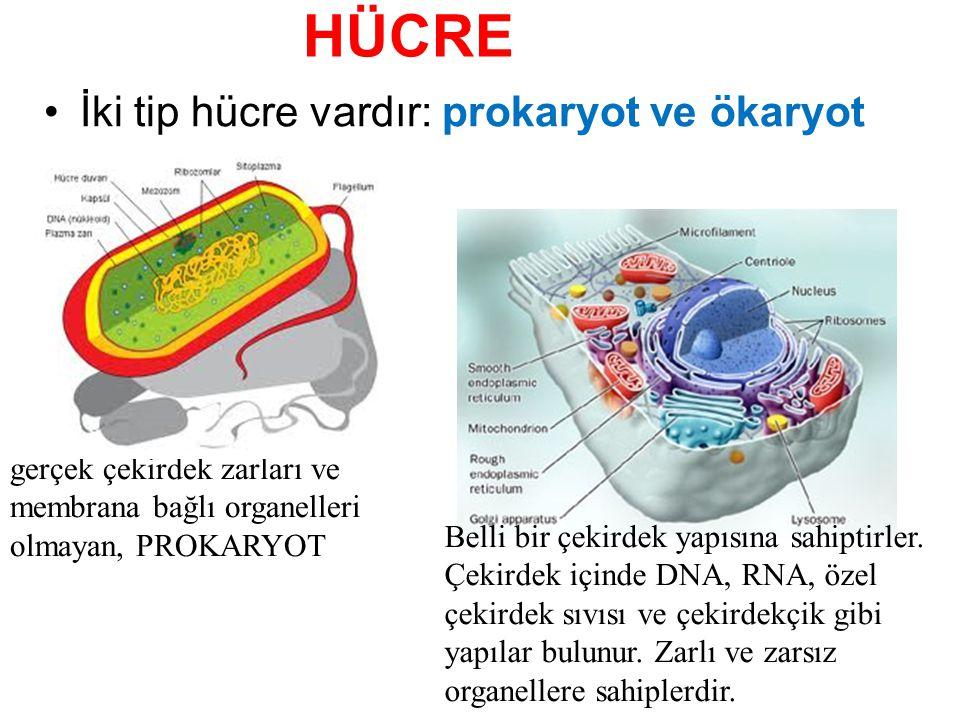HÜCRE İki tip hücre vardır: prokaryot ve ökaryot gerçek çekirdek zarları ve membrana bağlı organelleri olmayan, PROKARYOT Belli bir çekirdek yapısına sahiptirler.