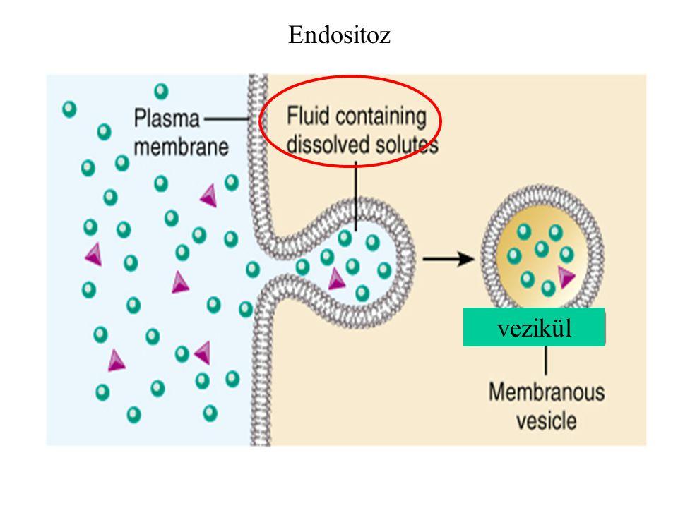 Endositoz vezikül
