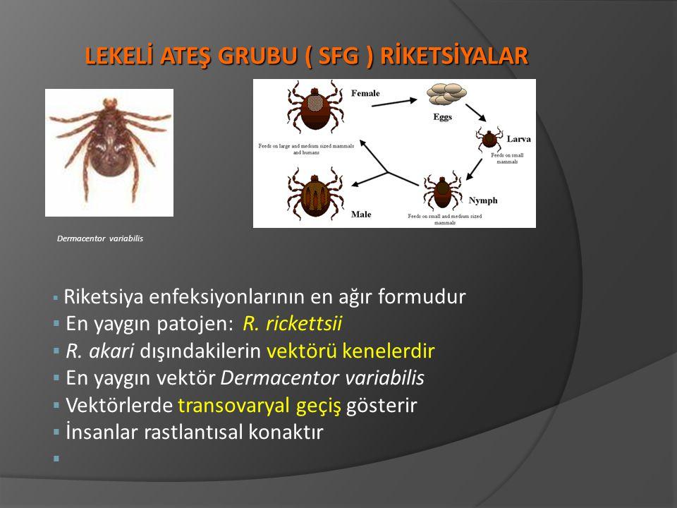 § Riketsiya enfeksiyonlarının en ağır formudur § En yaygın patojen: R. rickettsii § R. akari dışındakilerin vektörü kenelerdir § En yaygın vektör Derm