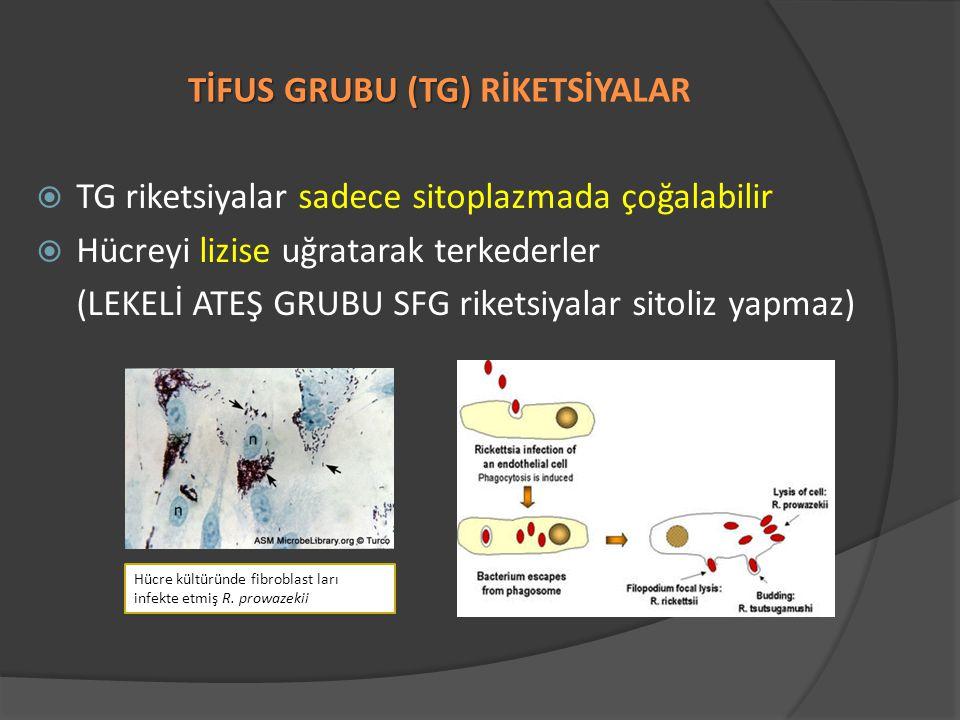 TİFUS GRUBU (TG) TİFUS GRUBU (TG) RİKETSİYALAR  TG riketsiyalar sadece sitoplazmada çoğalabilir  Hücreyi lizise uğratarak terkederler (LEKELİ ATEŞ GRUBU SFG riketsiyalar sitoliz yapmaz) Hücre kültüründe fibroblast ları infekte etmiş R.