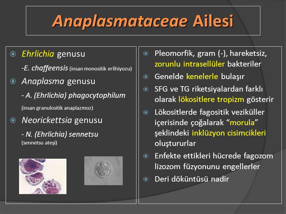 Anaplasmataceae Ailesi  Ehrlichia genusu -E. chaffeensis (insan monositik erlihiyozu)  Anaplasma genusu - A. (Ehrlichia) phagocytophilum (insan gran