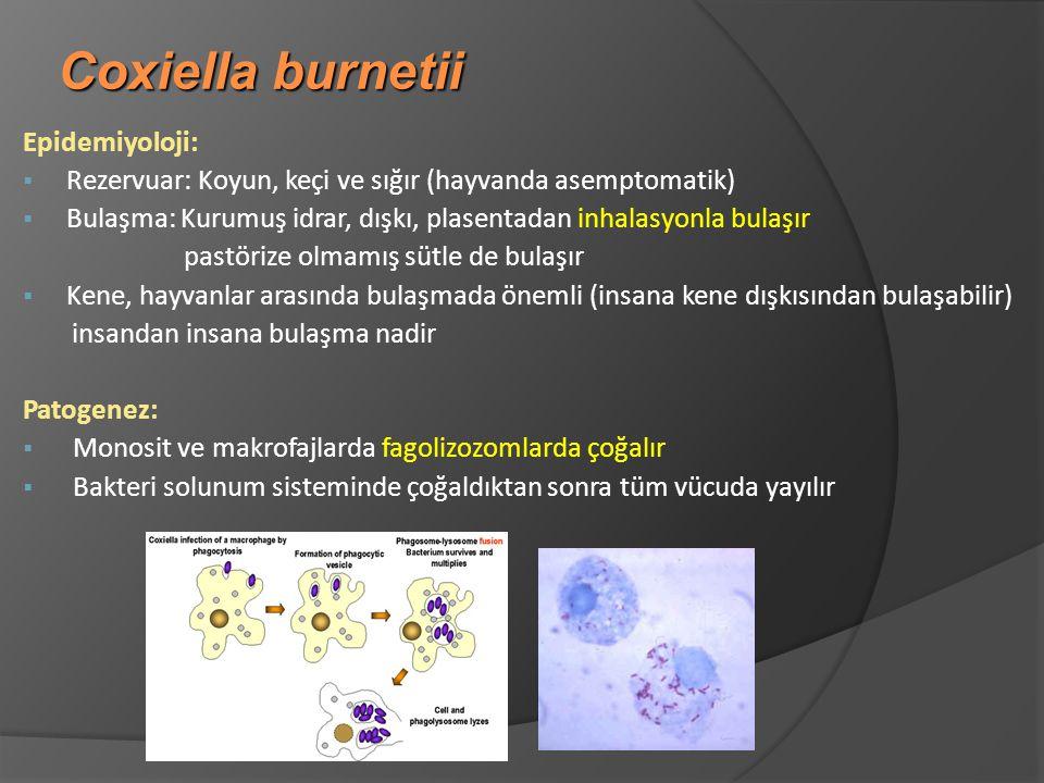 Coxiella burnetii Epidemiyoloji:  Rezervuar: Koyun, keçi ve sığır (hayvanda asemptomatik)  Bulaşma: Kurumuş idrar, dışkı, plasentadan inhalasyonla bulaşır pastörize olmamış sütle de bulaşır § Kene, hayvanlar arasında bulaşmada önemli (insana kene dışkısından bulaşabilir) insandan insana bulaşma nadir Patogenez:  Monosit ve makrofajlarda fagolizozomlarda çoğalır § Bakteri solunum sisteminde çoğaldıktan sonra tüm vücuda yayılır