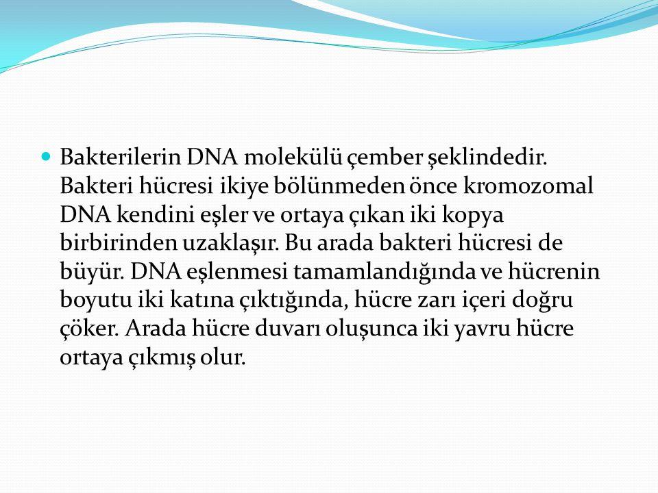 Bakterilerin DNA molekülü çember şeklindedir.
